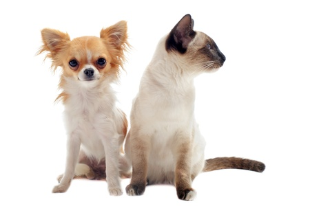 purebred  chihuahua  with siamese kitten in front of white background photo