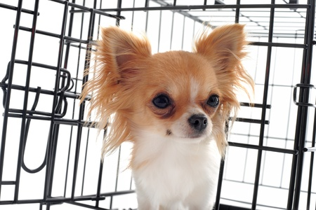 abandonment: chihuahua closed inside pet carrier isolated on white background Stock Photo