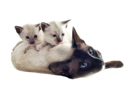 beautiful purebred siamese kitten with female in front of white background photo