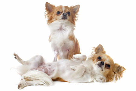 lying on back: portrait of a cute purebred  chihuahuas in front of white background