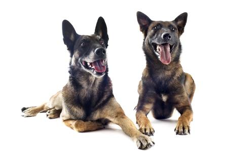 perro policia: dos de pura raza pastor belga malinois sobre un fondo blanco