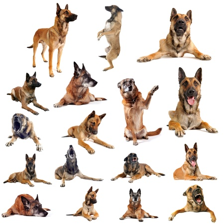 aggressive people: composite picture with purebred belgian sheepdgog malinois on a white background