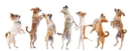 perros jugando: grupo de pura raza chihuahua de pie sobre sus patas traseras Foto de archivo
