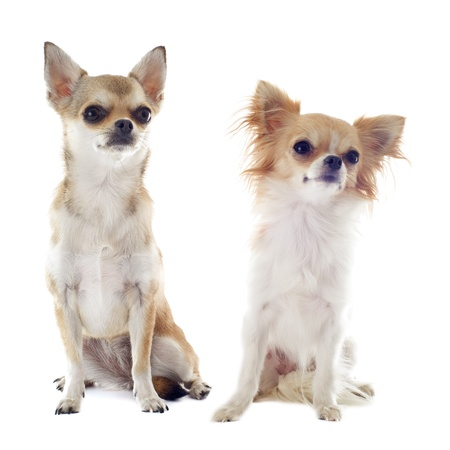 portrait of two purebred  chihuahuas in front of white background photo
