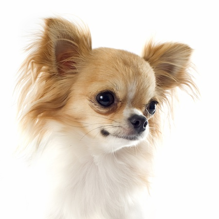 long hair chihuahua: portrait of a cute purebred chihuahua in front of white background