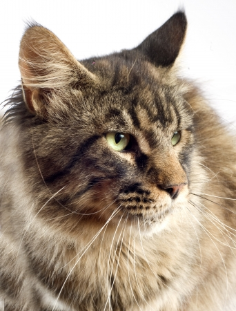 coon: portrait of a purebred  maine coon cat on a white background Stock Photo