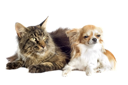maine cat: portrait of a purebred  maine coon cat and chihuahua on a white background Stock Photo