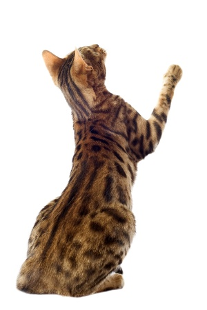 cat playing: portrait of a purebred  bengal cat on a white background Stock Photo