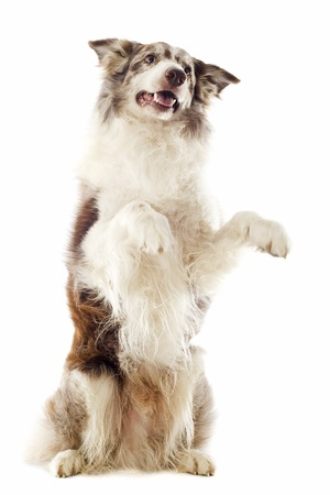 border collie: portrait of purebred border collie standing on his hind legs  Stock Photo