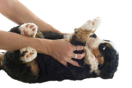 bernese dog: portrait of a purebred bernese mountain dog on the back in front of white background Stock Photo
