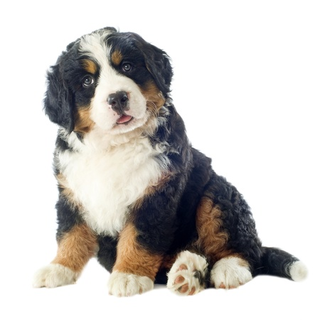 bernese dog: portrait of a purebred bernese mountain dog in front of white background Stock Photo