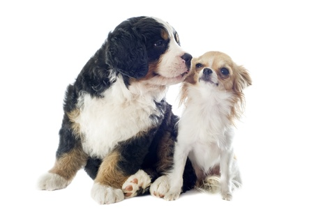 portrait of a purebred bernese mountain dog with chihuahua in front of white background photo