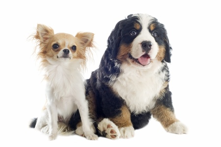 mountain dog: portrait of a purebred bernese mountain and chihuahua dog in front of white background