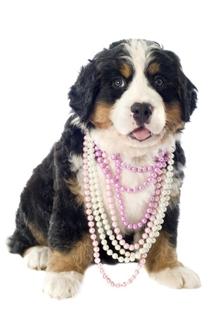 portrait of a purebred bernese mountain dog with pearl collar in front of white background photo