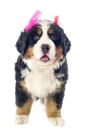 bernese dog: portrait of a purebred bernese mountain dog with feather in front of white background Stock Photo