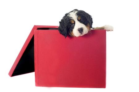 portrait of a purebred bernese mountain dog in a box  photo
