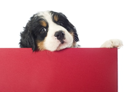 portrait of a purebred bernese mountain dog in a box  photo