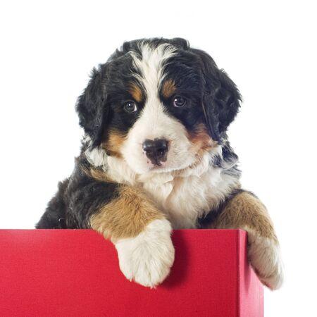 bernese dog: portrait of a purebred bernese mountain dog in a box  Stock Photo