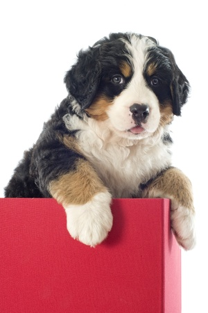 portrait of purebred puppy bernese moutain dog in a box photo
