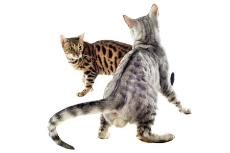 sociability: portrait of  purebred  bengal cats on a white background, focus on the firs cat Stock Photo