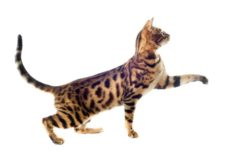 portrait of a purebred bengal cat on a white background