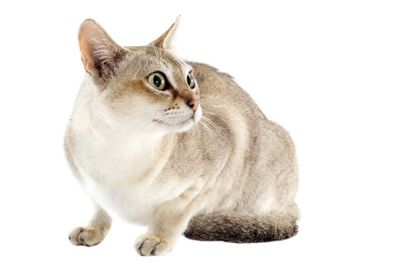alertness: portrait of a purebred  singapura cat on a white background