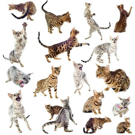 gato jugando: grupo de pura raza gatos de Bengala en un fondo blanco