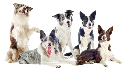 portrait of purebred border collies in front of white background photo