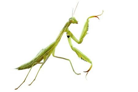 european mantis: picture of an European mantis in front of white background