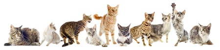 maine cat: grupo de gatos de raza pura en un fondo blanco