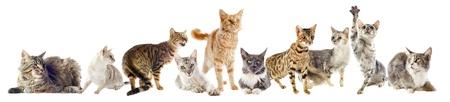 cats: gruppo di gatti di razza su uno sfondo bianco