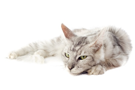 cat sleeping: portrait of a purebred  maine coon cat laid down on a white background