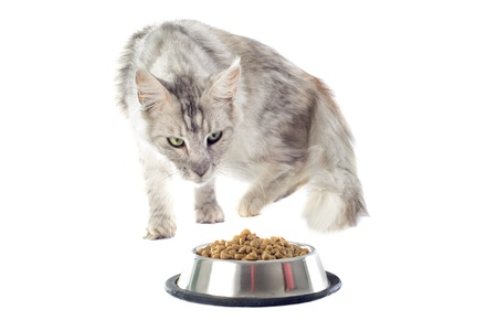 portrait of a purebred  maine coon cat and cat food on a white background photo