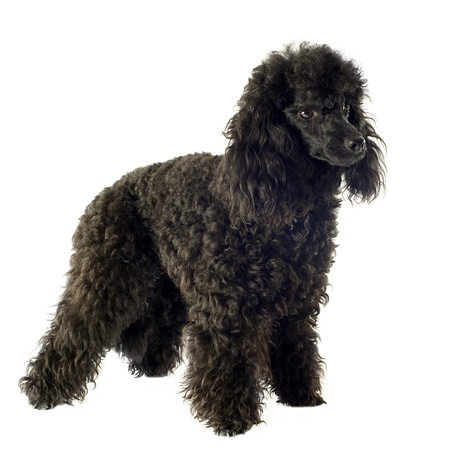 upright: beautiful purebred poodle in front of a white background