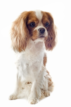 young blenheim cavalier king charles in front of white background photo