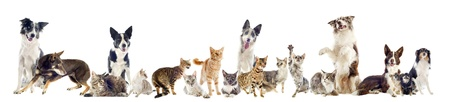 maine cat: group of purebred cats  and dogs on a white background Stock Photo