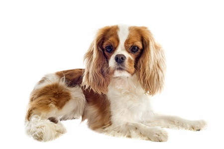 cavalier: young blenheim cavalier king charles in front of white background Stock Photo