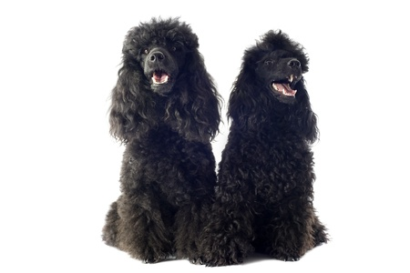 ittle: beautiful purebred toy poodles in front of a white background Stock Photo