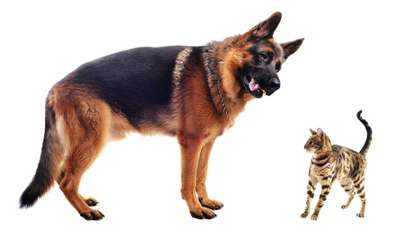 one to one meeting: purebred german shepherd and bengal kitten on a white background