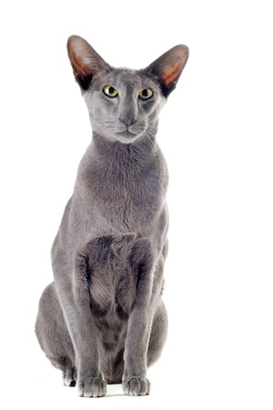 gray cat: portrait of a gray oriental cat in front of white background