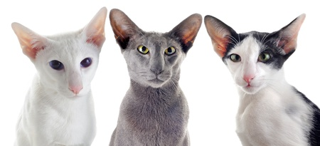 oriental white cat: portrait of threeoriental cats in front of white background