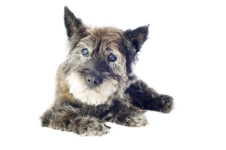 cairn: senior cairn terrier, 14 years old, in front of a white background