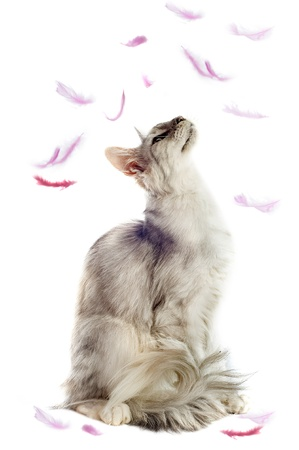 coon: portrait of a purebred  maine coon cat with feathers on a white background