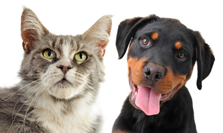 rottweiler: portrait of a purebred  maine coon cat and puppy rottweiler on a white background