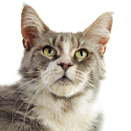portrait of a purebred  maine coon cat on a white background photo