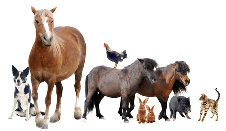 miniature dog: group of farm animals in front of white background Stock Photo