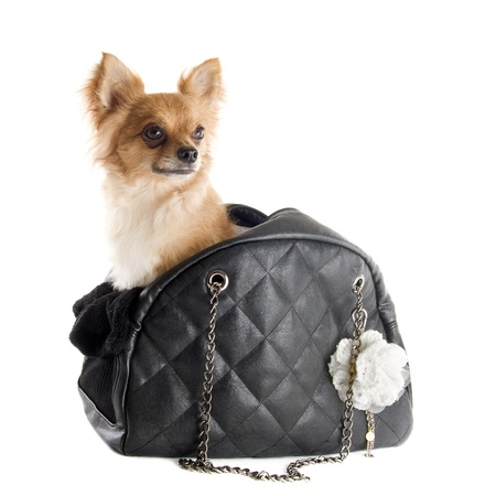 travel bag with chihuahua in front of white background photo