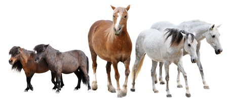 horses and two ponies in front of white background