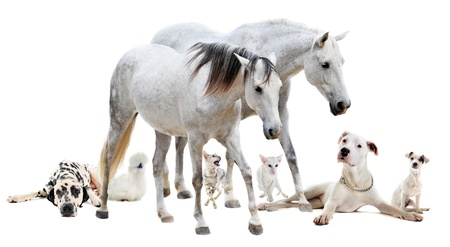 grey horses: group of white pet in front of white background Stock Photo