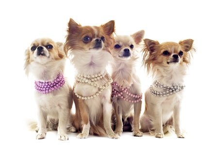 portrait of cute purebred chihuahuas with pearl collar in front of white background